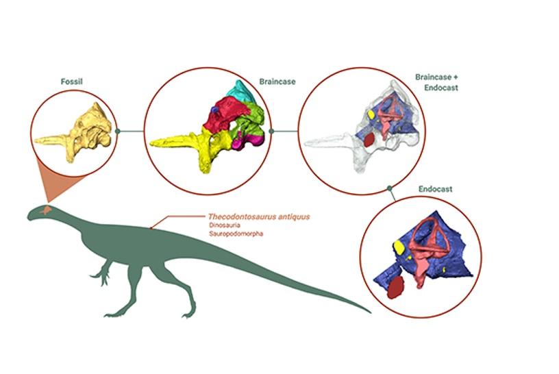 Universidad de Bristol realiza la reconstrucción digital del cerebro de un dinosaurio.